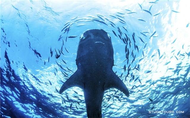 和鲸鲨一起游泳
